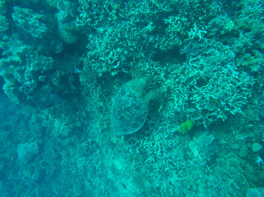 Tortue Grande Barrière de Corail Cairns Australie