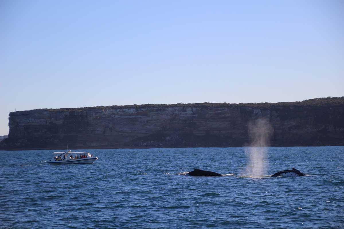 baleines Sydney Australie