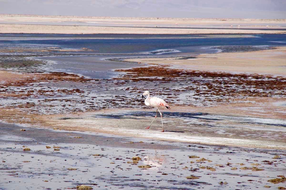 flamand rose atacama