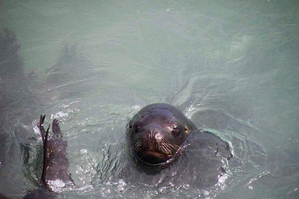 lion de mer eau Valparaiso Chili