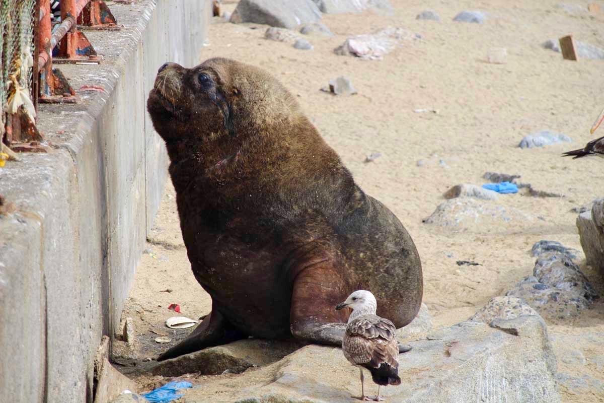 lion de mer plage Valparaiso Chili