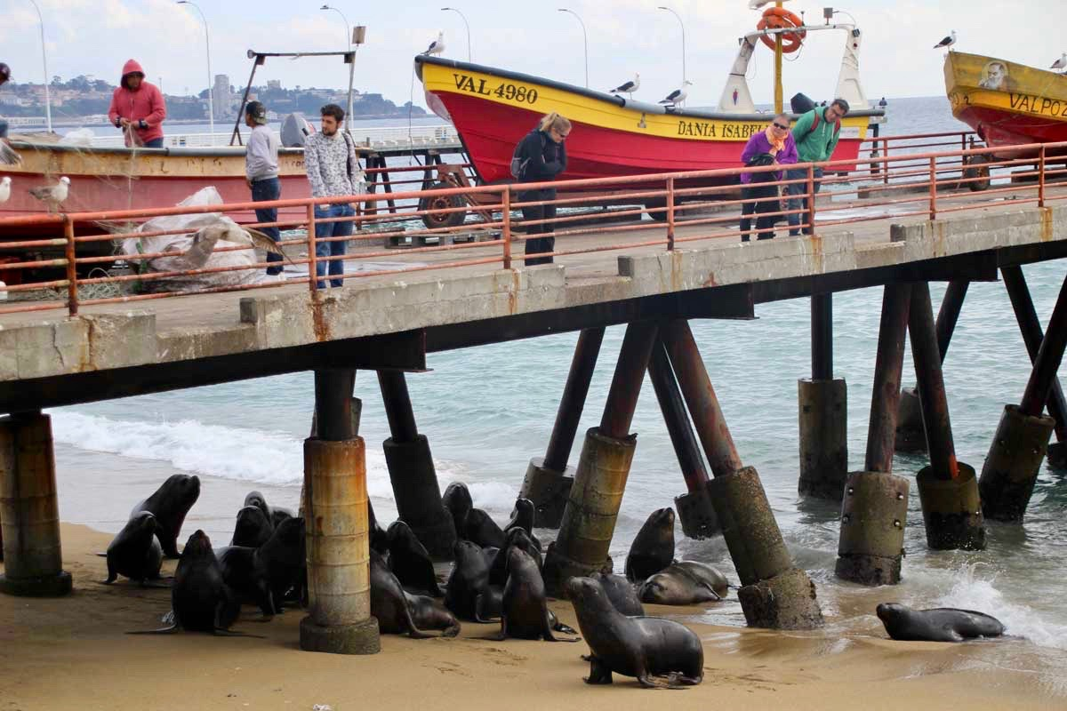 lions de mer port Valparaiso Chili