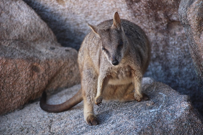 wallaby rochers magnetic island