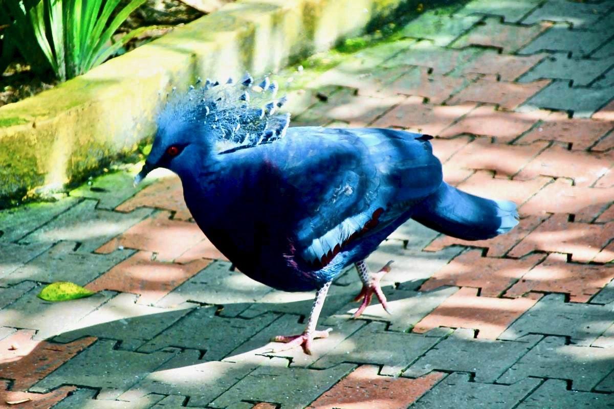 oiseau bleu KL Bird Park Kuala Lumpur