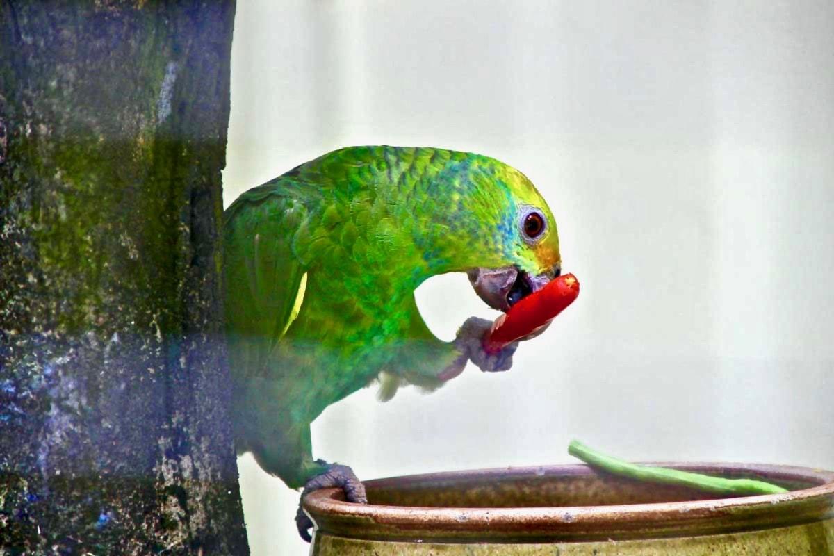 oiseau piment repas KL Bird Park Kuala Lumpur
