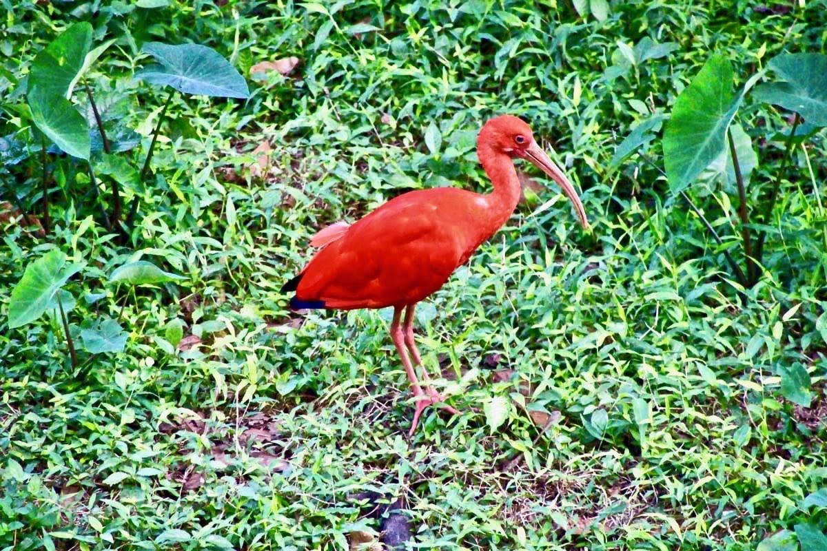 oiseau rouge KL Bird Park Kuala Lumpur