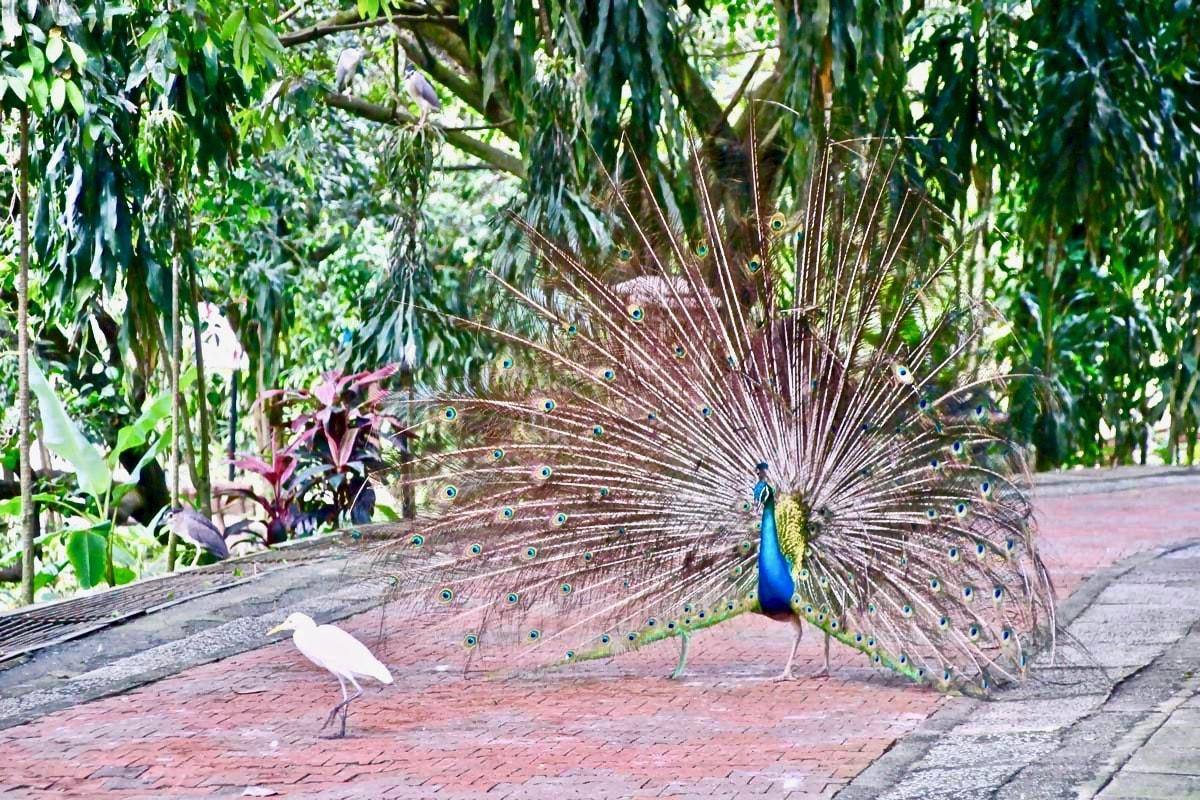 paon roue KL Bird Park Kuala Lumpur