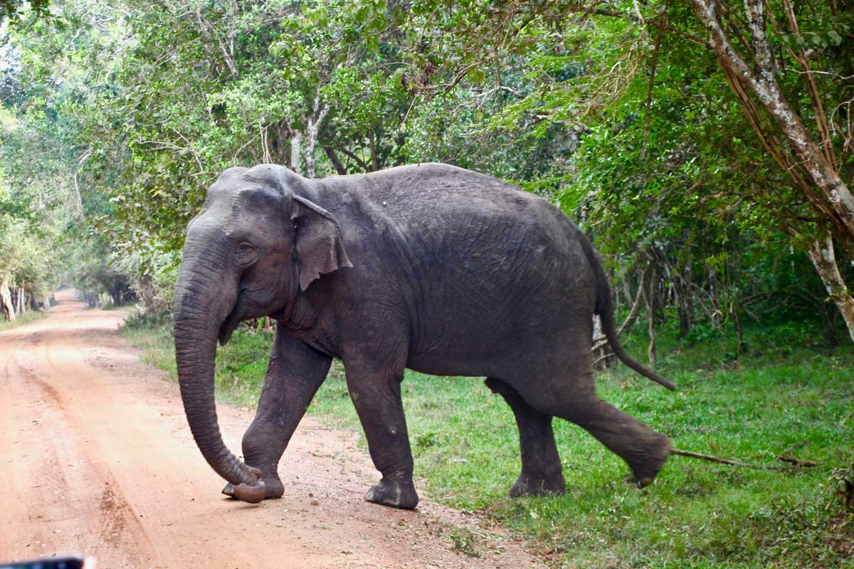 Elephant Safari Wilpattu National Park