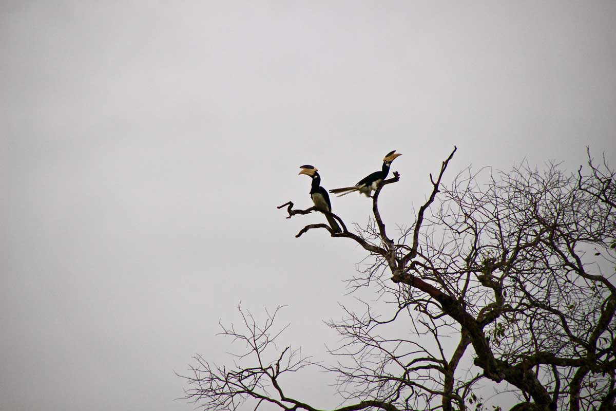 Hornbill Safari Wilpattu National Park