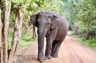 elephant en face Safari Wilpattu National Park