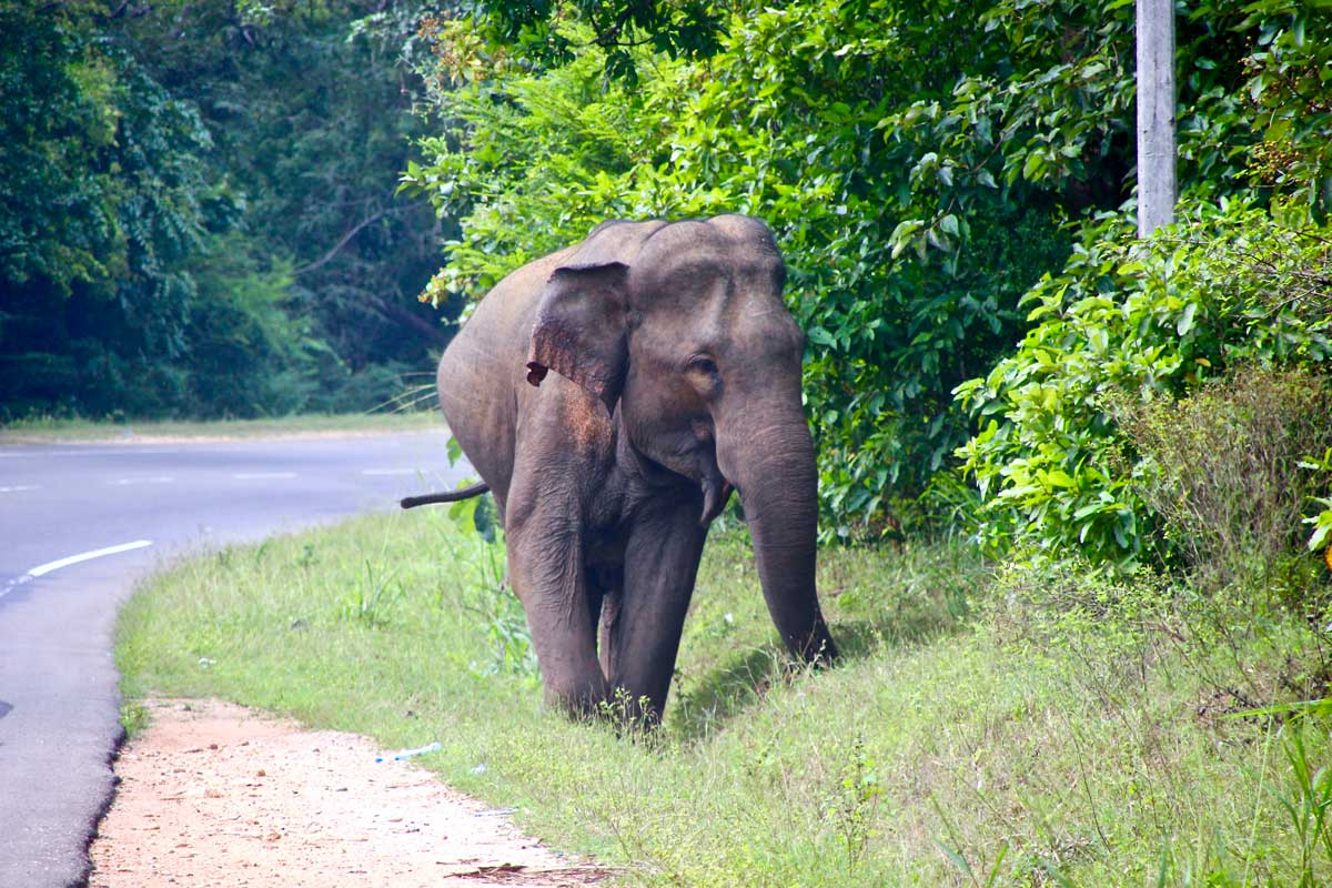 elephant sauvage Polonnaruwa Habarana Sri Lanka