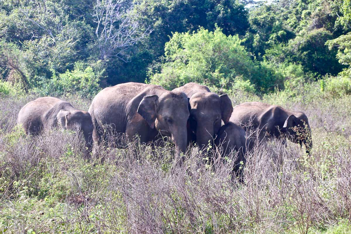 elephants parc kaudulla safari sri lanka