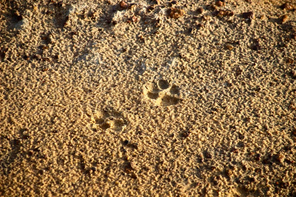 empreintes leopard Safari Wilpattu National Park