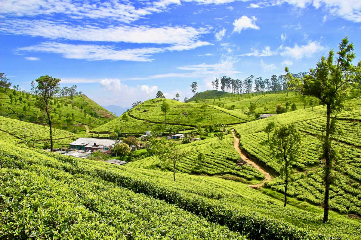 plantations thé lipton seat sri lanka