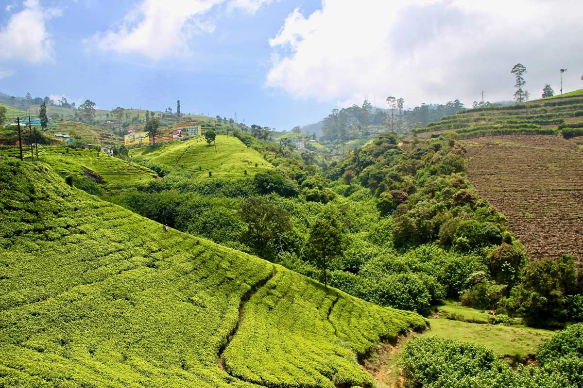 plantations de thé sri lanka haputale