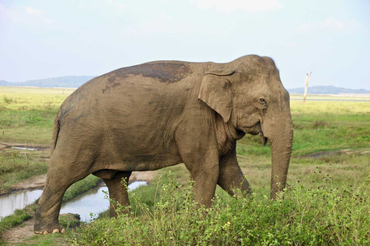 safari elephant kaudulla sri lanka
