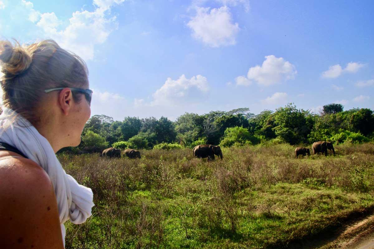 safari elephants kaudulla sri lanka