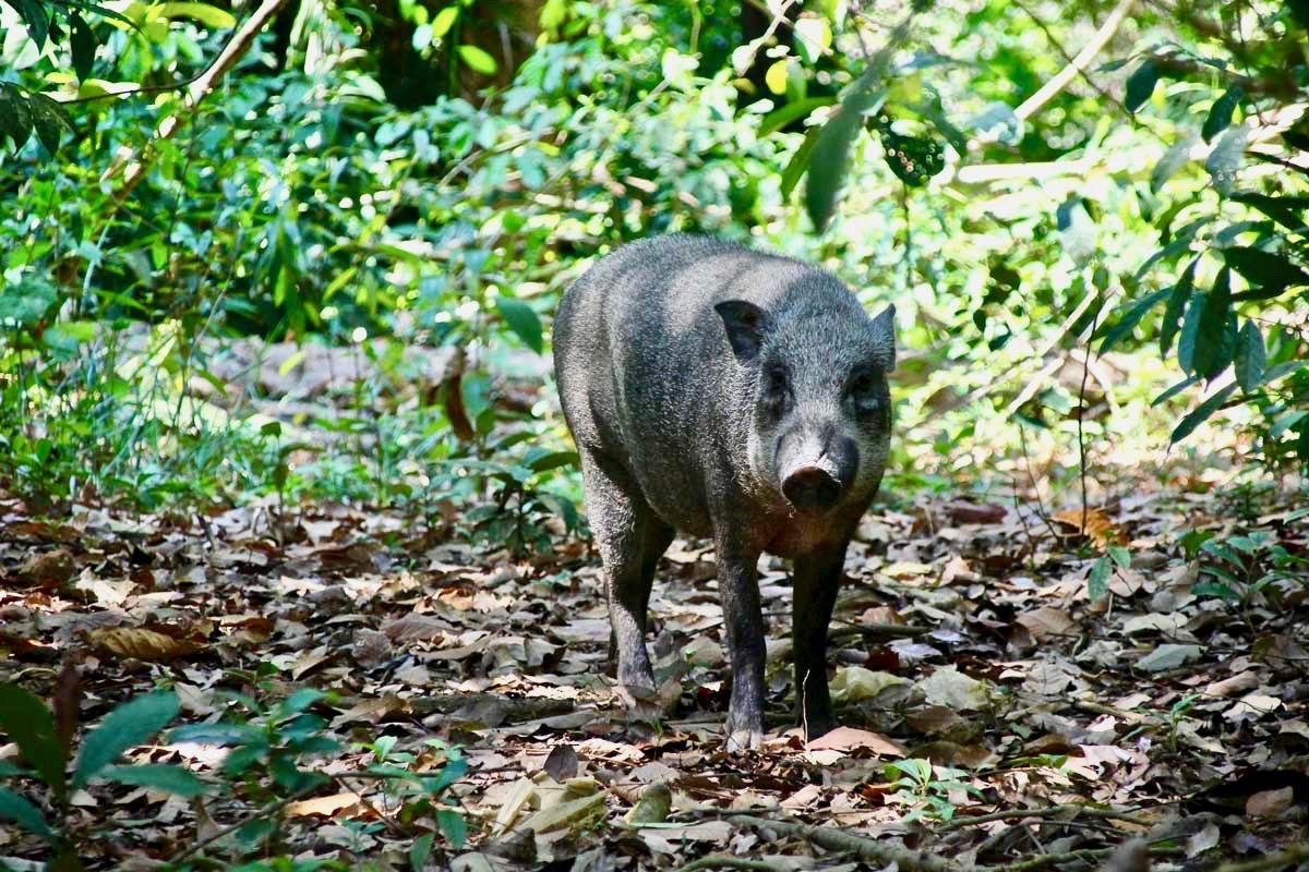Cochon sauvage Pulau Ubin Singapour