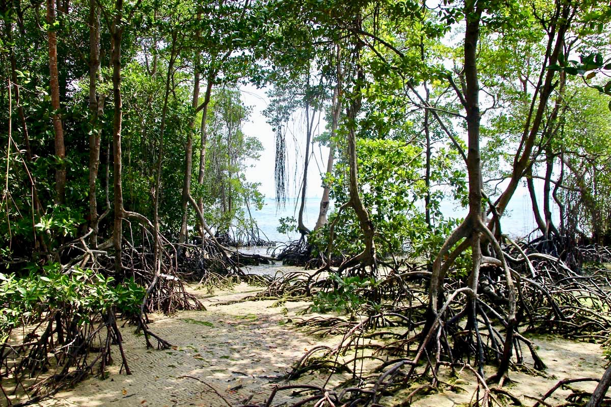 Mangrove Pulau Ubin Singapour