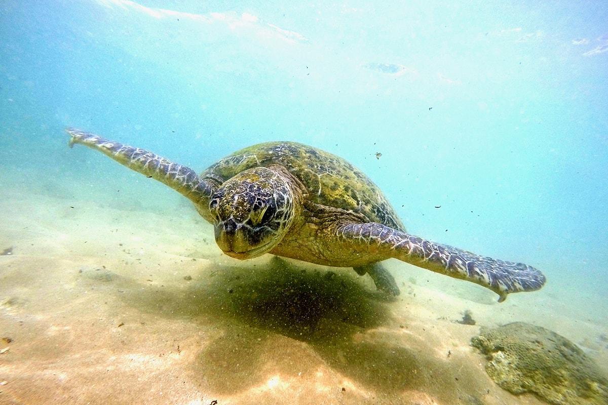 Tortue plage Polenha Sri Lanka