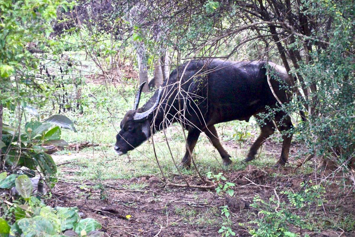 buffle Udawalawe Sri Lanka