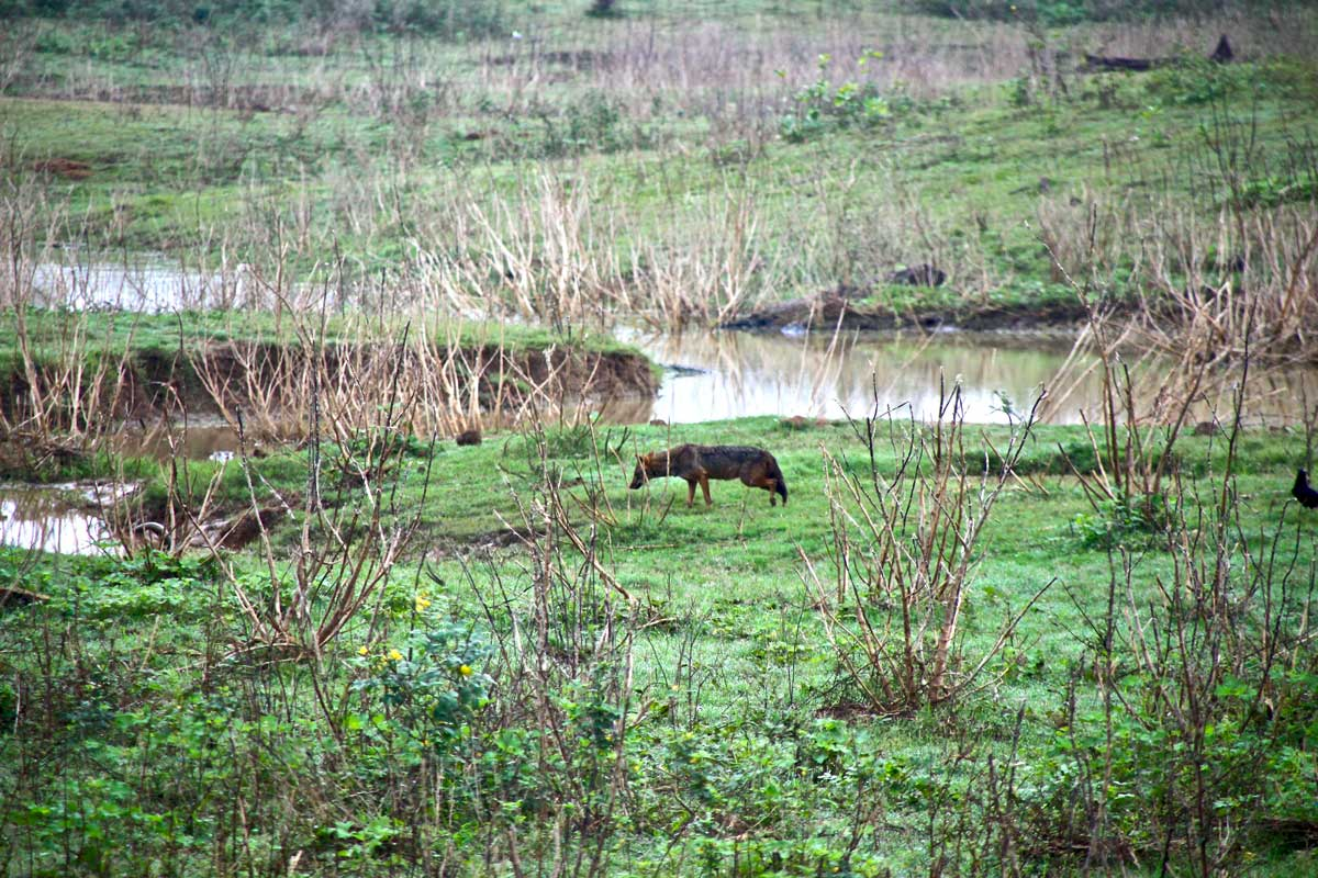 chacal Udawalawe Sri Lanka