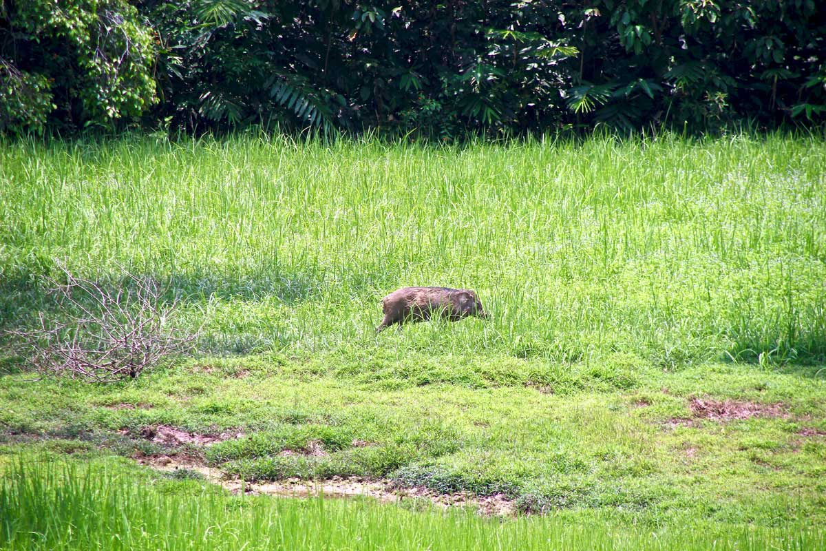 cochon sauvage taman negara