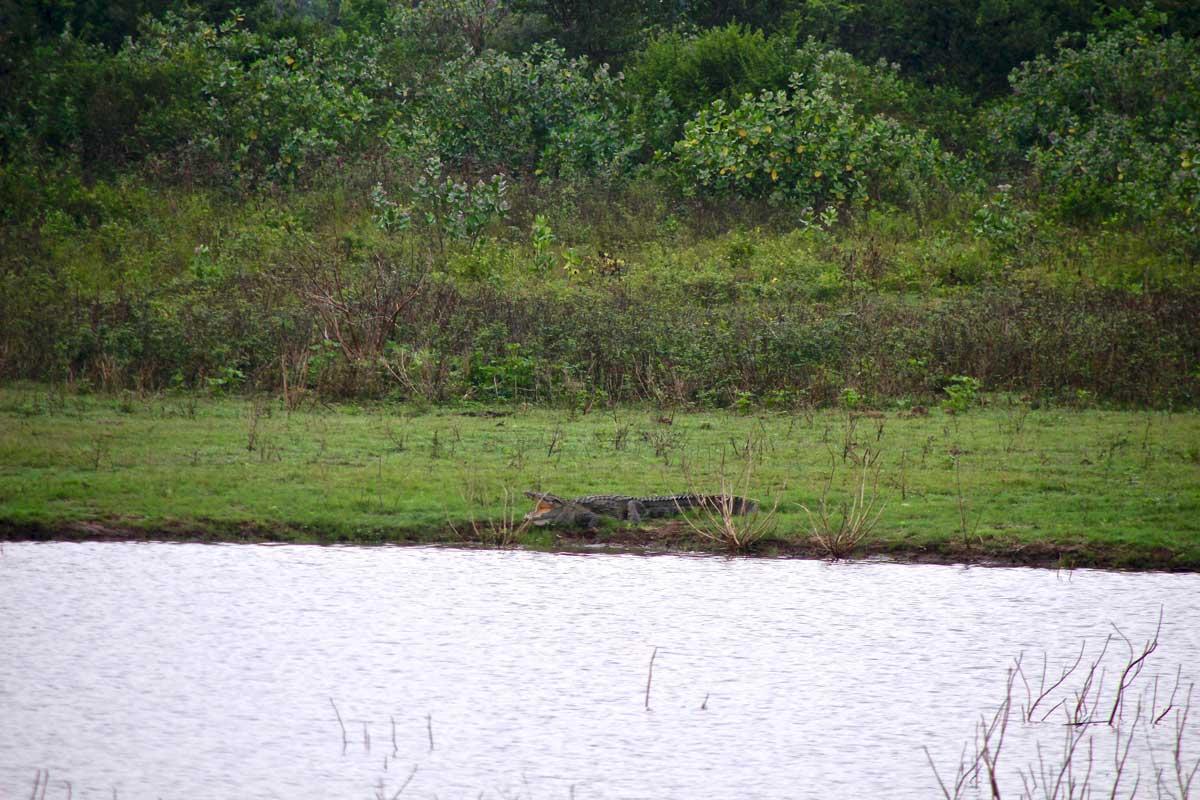 crocodile Udawalawe Sri Lanka