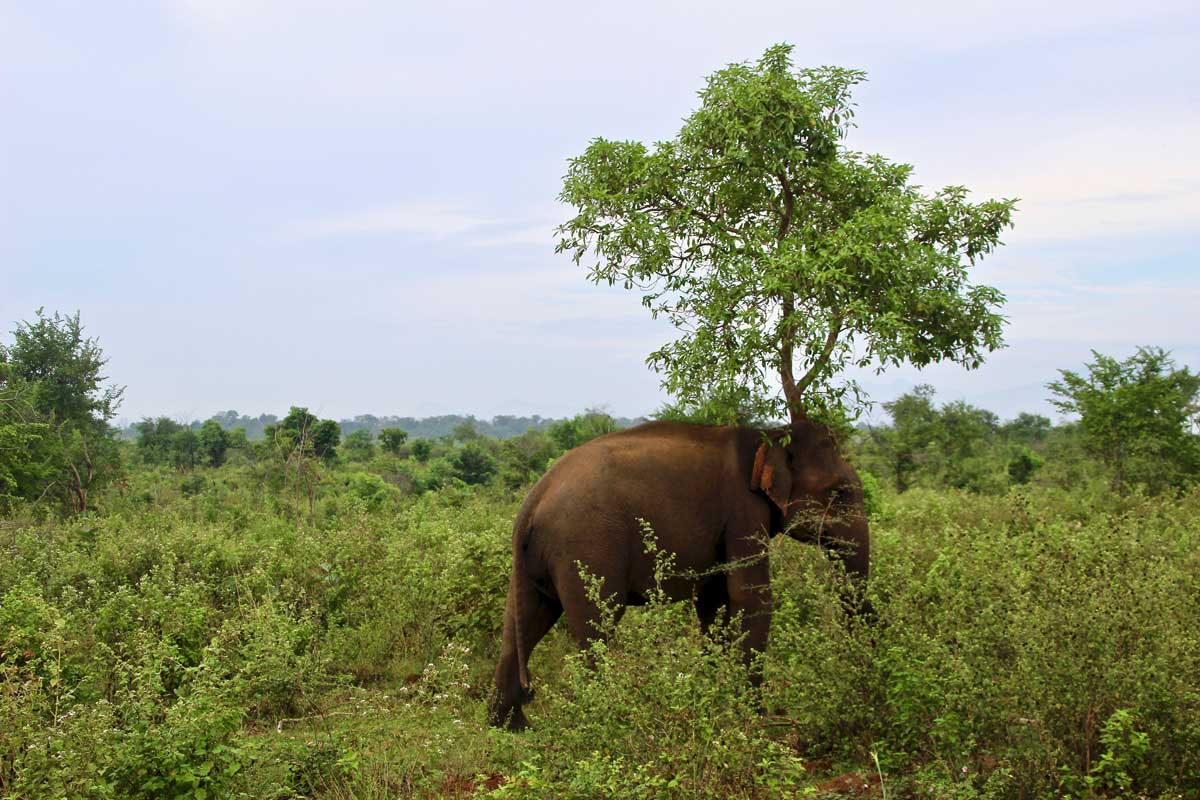elephant arbre Udawalawe Sri Lanka