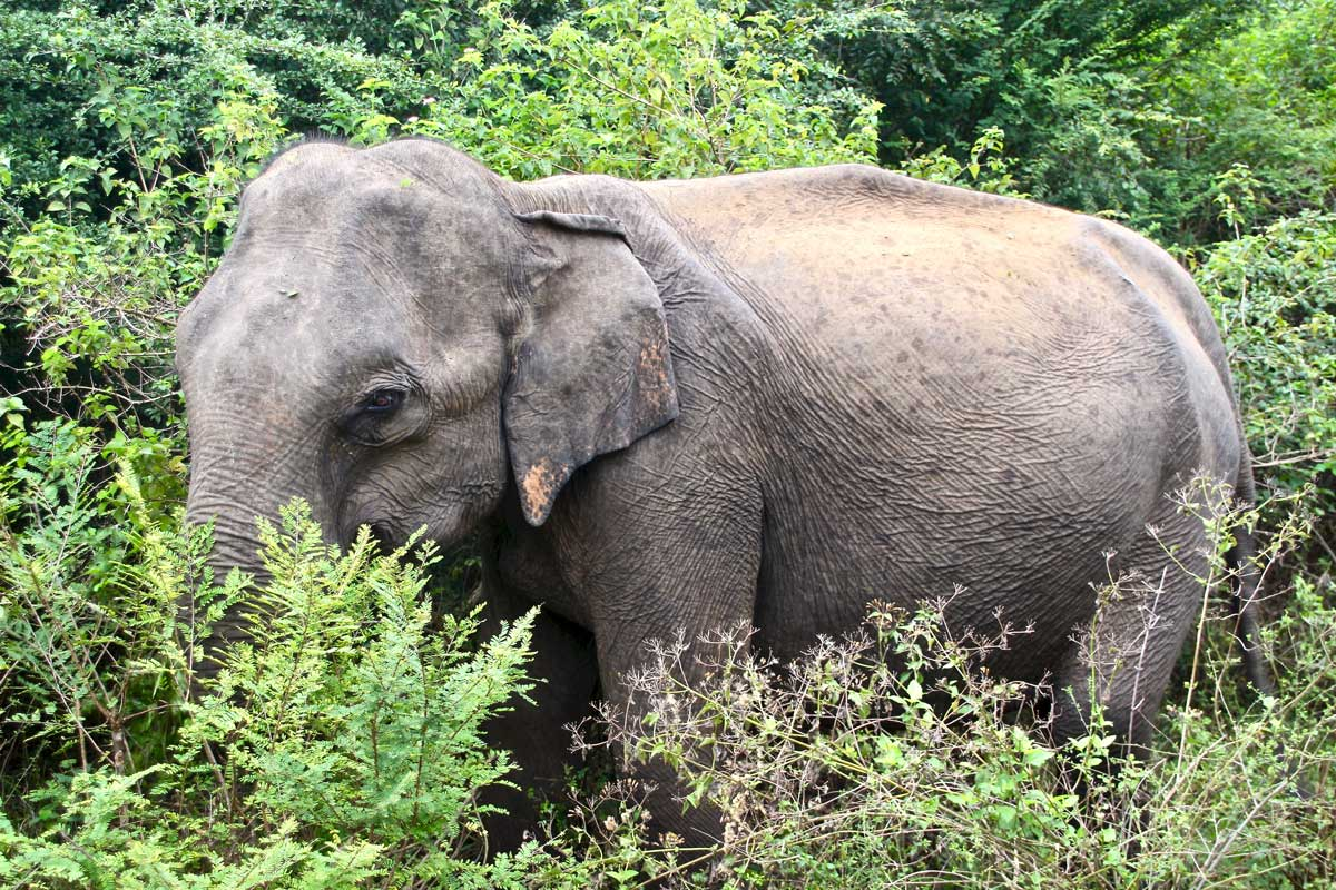 elephant de pres Udawalawe Sri Lanka