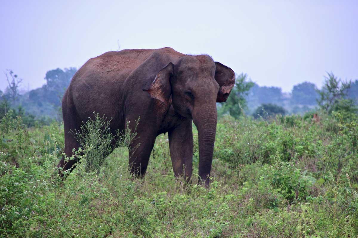 elephant male Udawalawe Sri Lanka