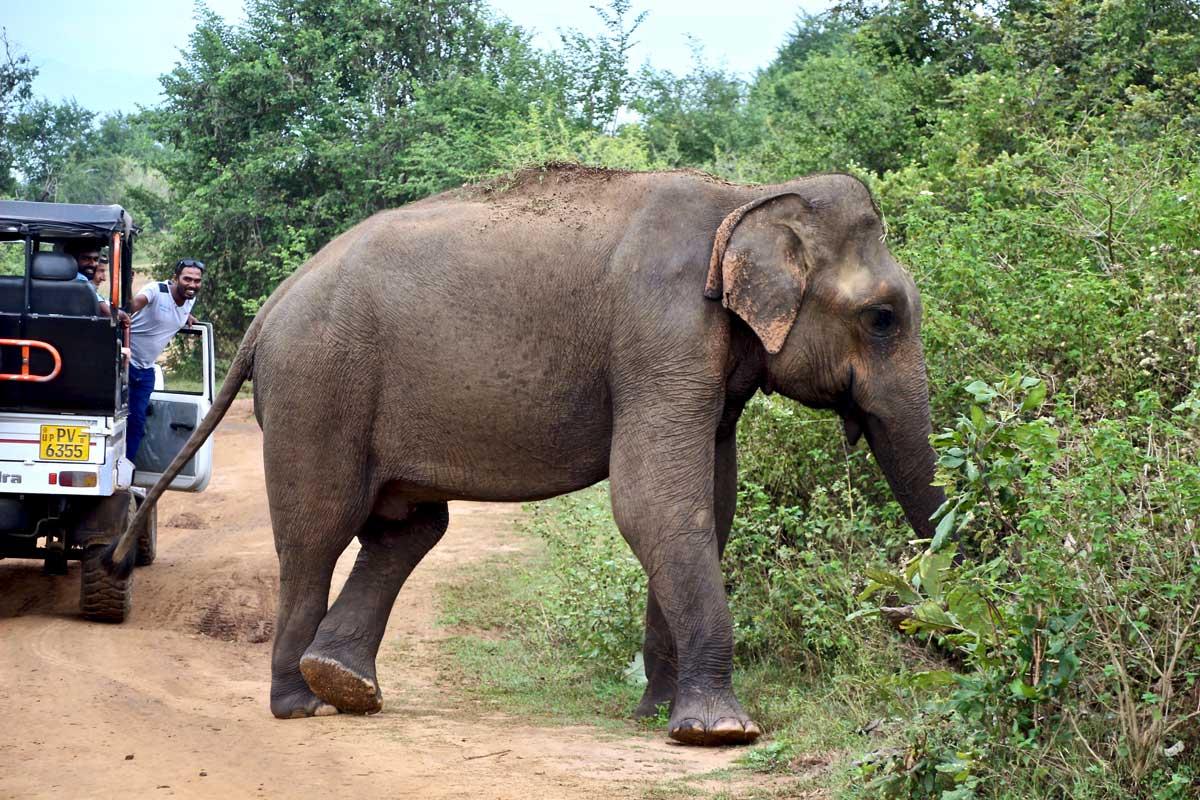 elephant pose Udawalawe Sri Lanka
