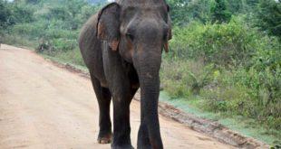 elephant sur la piste Udawalawe Sri Lanka