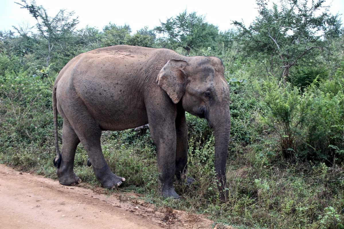 elephant sur le bord Udawalawe Sri Lanka