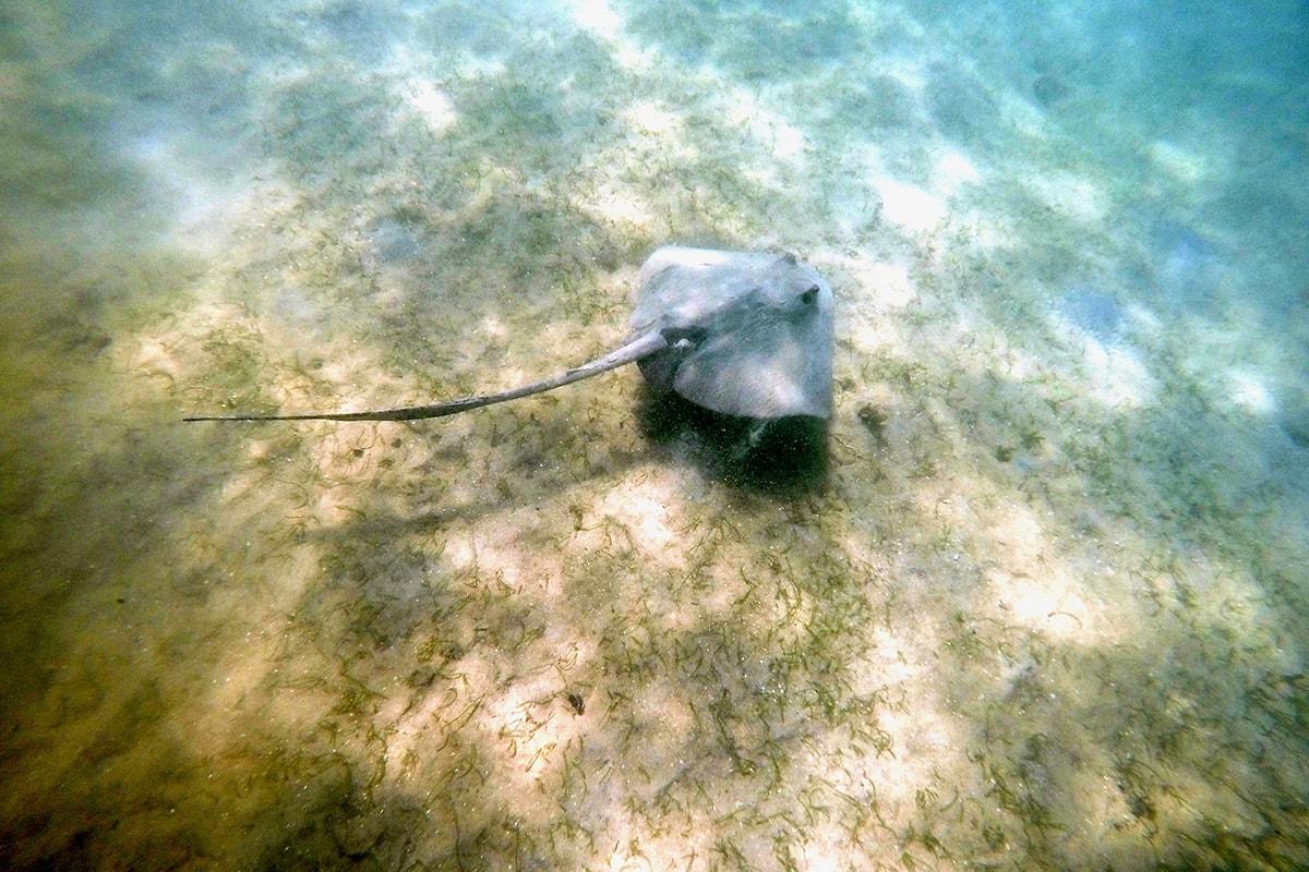 raie plage Polenha Sri Lanka
