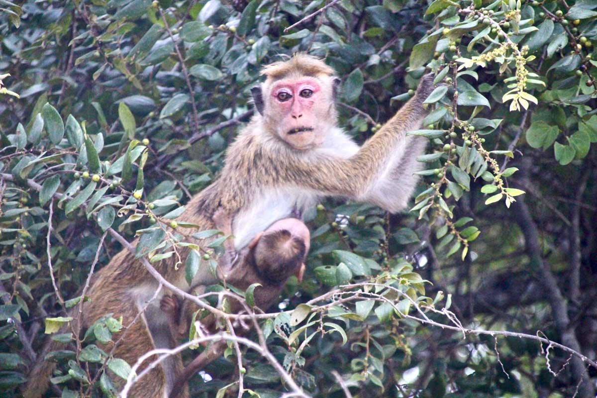singe Udawalawe Sri Lanka