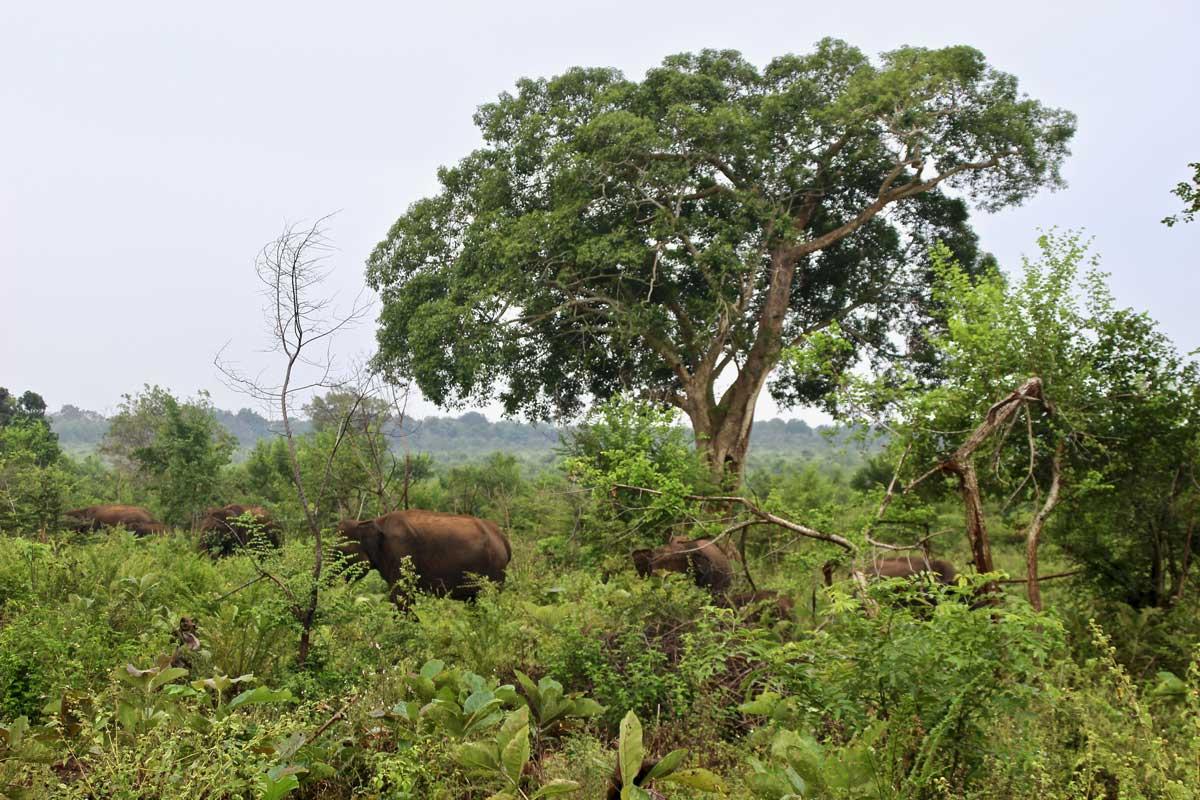 troupeau elephants Udawalawe Sri Lanka