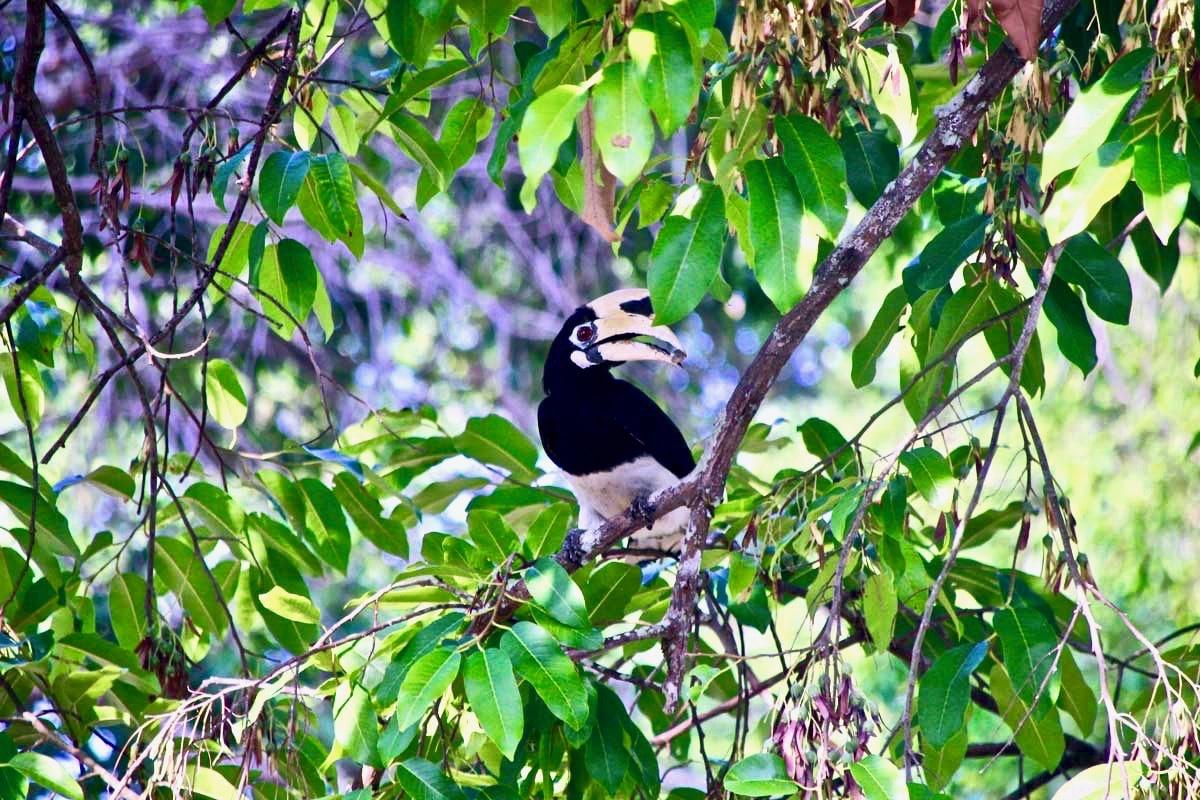 Hornbill Langkawi