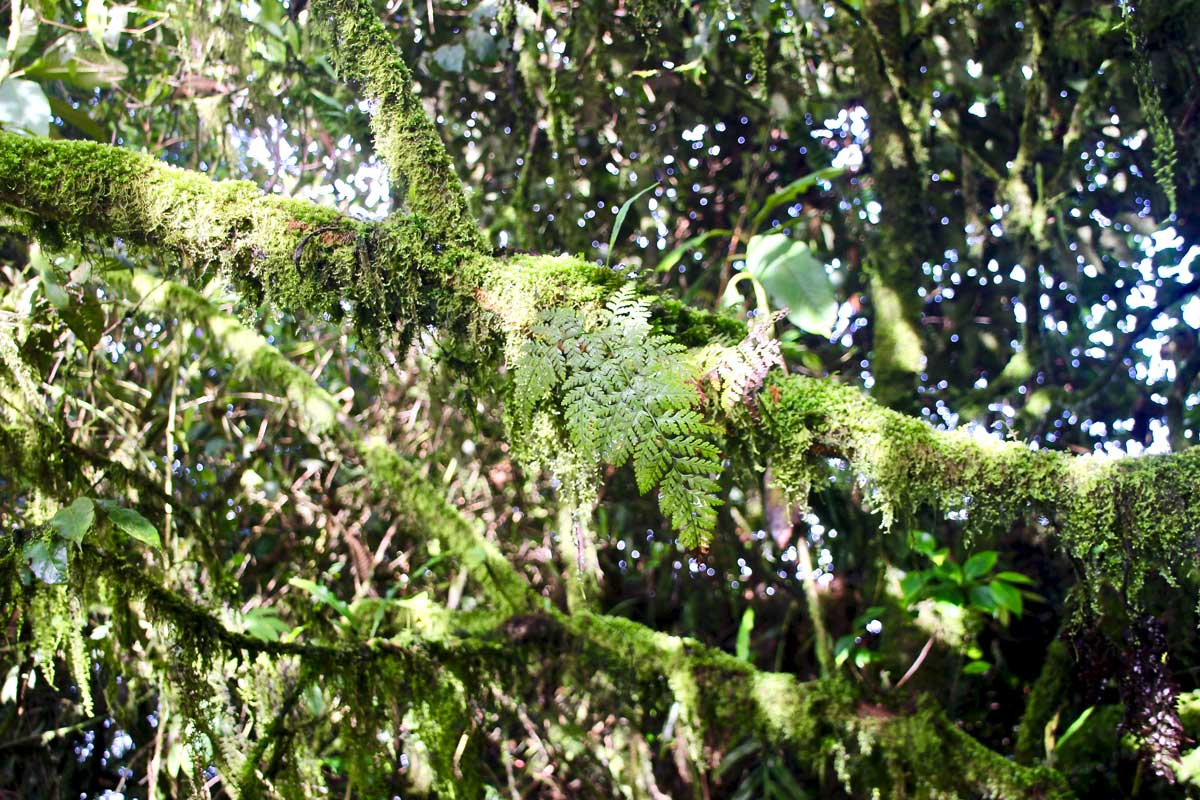 foret mousse cameron highlands
