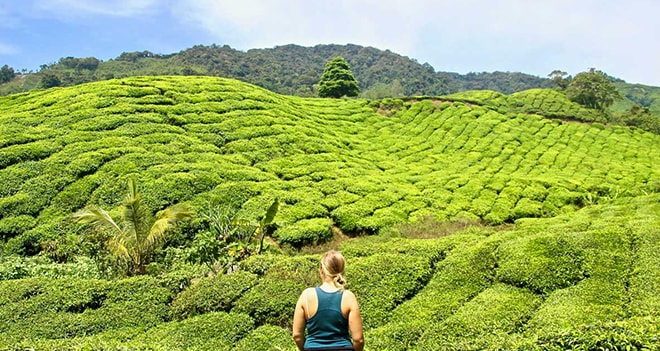 1 journ u00e9e dans les cameron highlands   plantations de th u00e9
