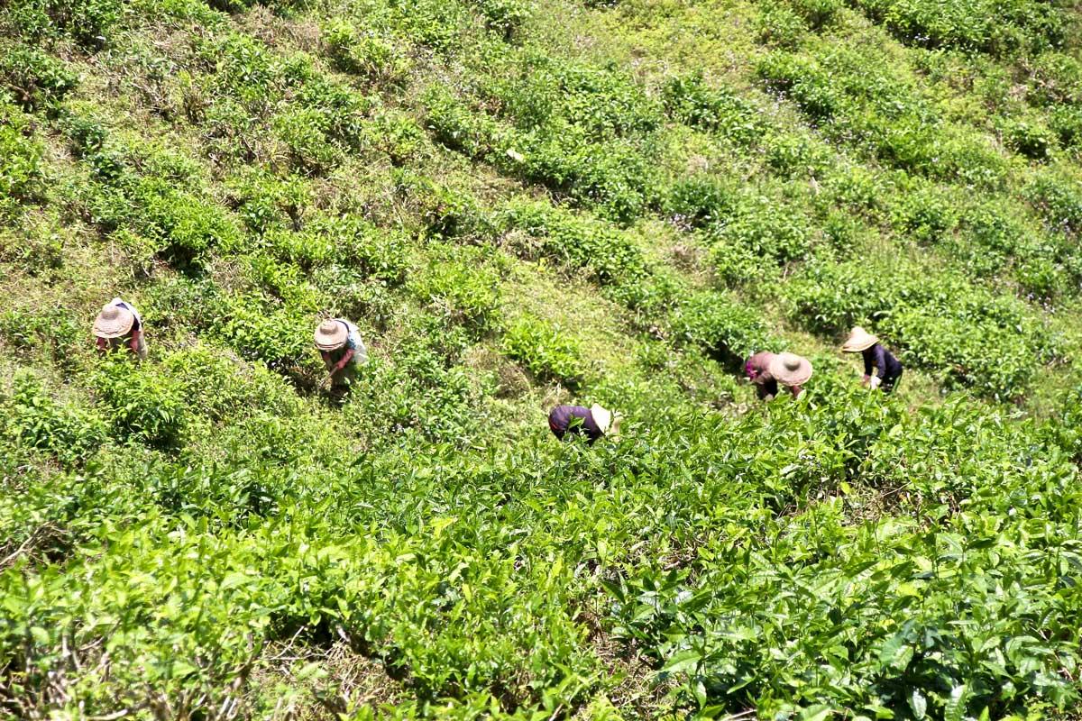 cueilleuses de thé cameron highlands