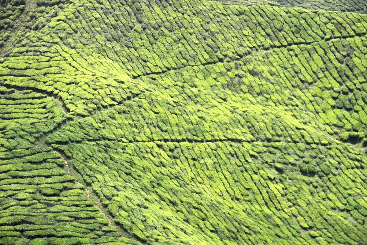 plantations de thé Cameron valley cameron highlands malaisie