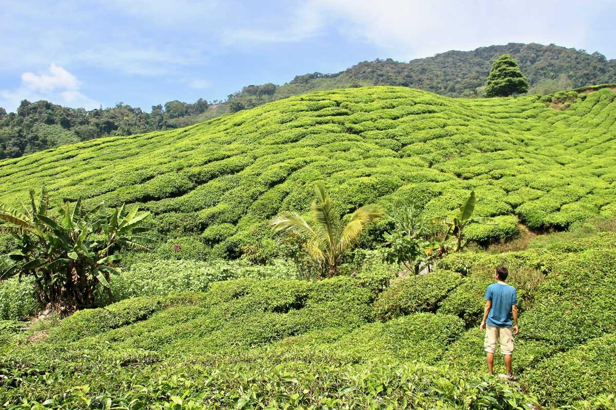 plantations thé boh malaisie