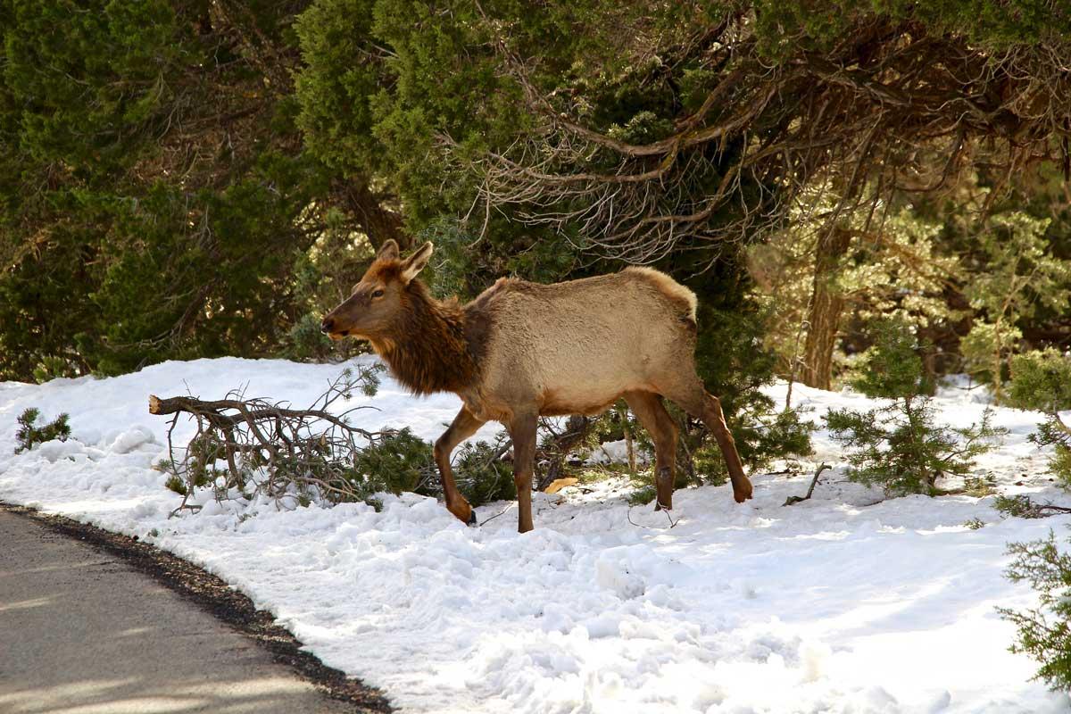animal sauvage hiver grand canyon usa