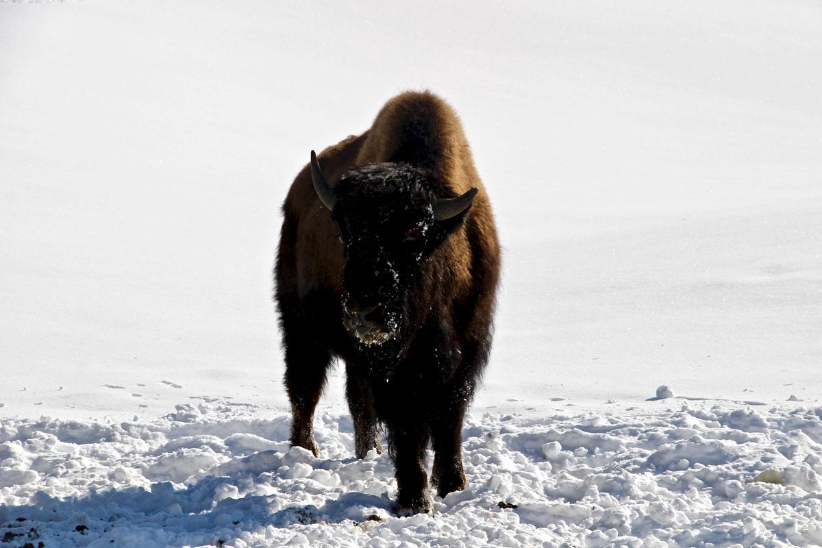 bison kanatha aki quebec