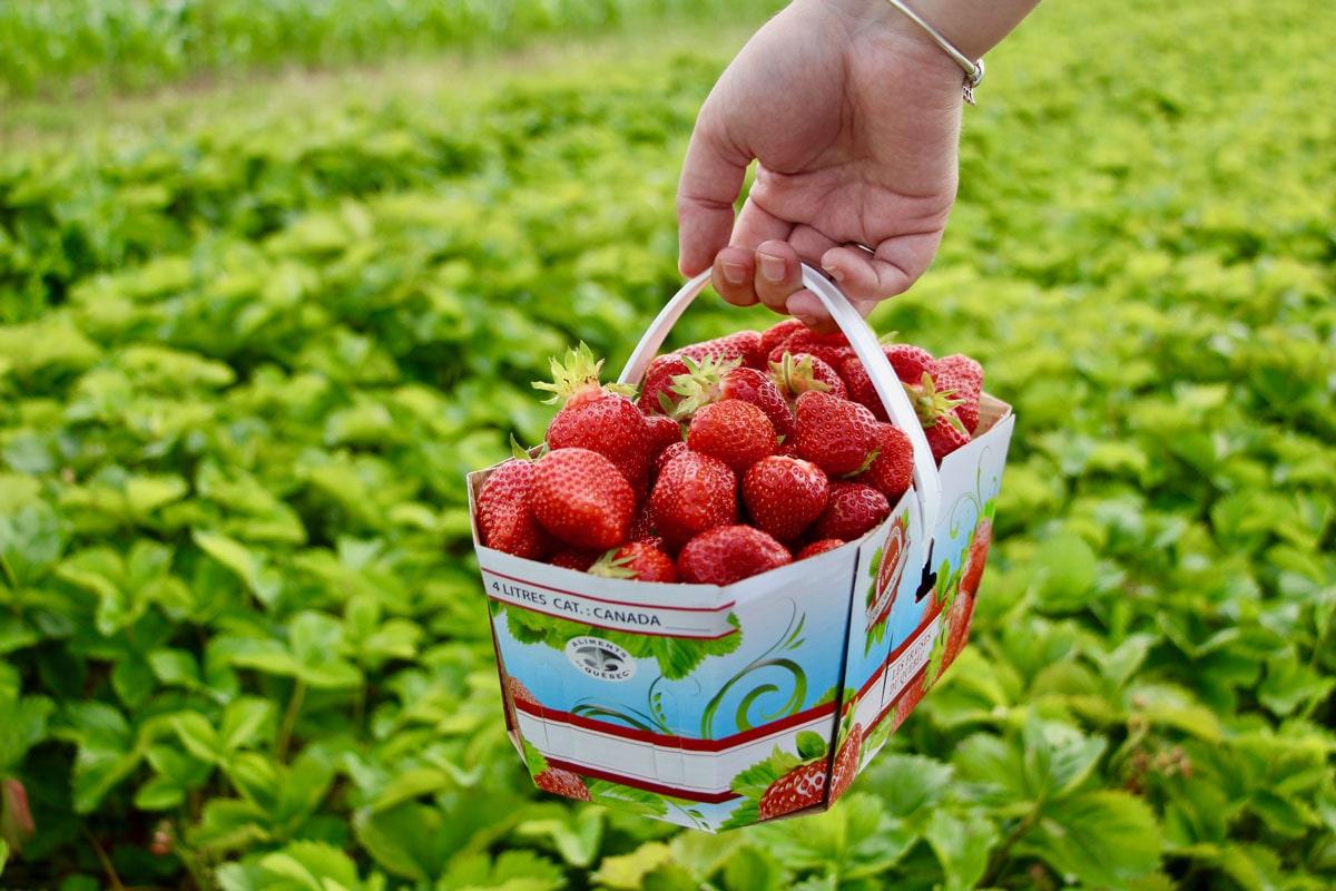 auto-cueillette fraises ile d'orleans