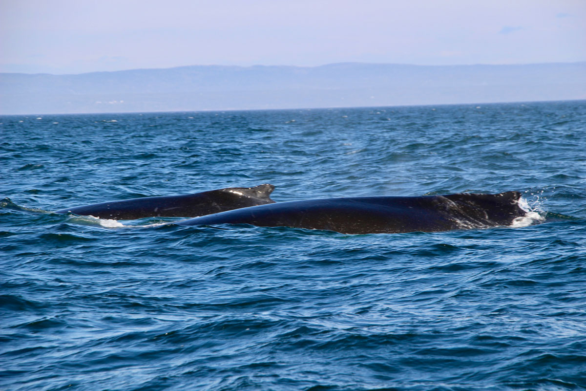 Baleines depuis le zodiac les Escoumins