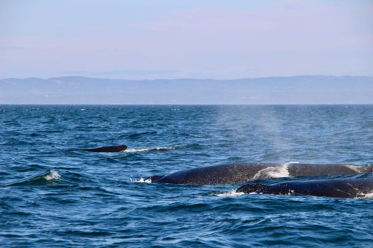 Baleines les Escoumins depuis le bateau