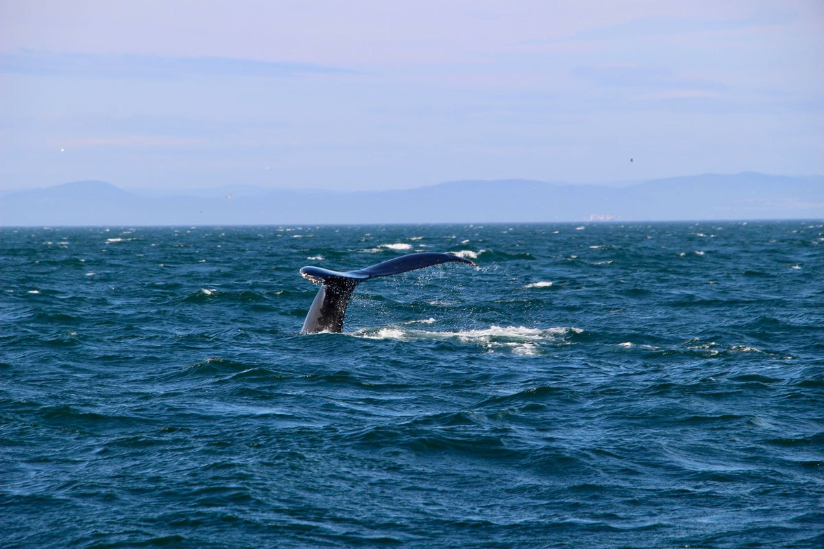 Queue de baleine Escoumins