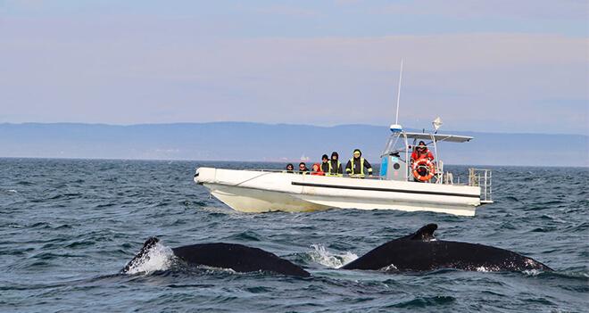 2 jours pour rencontrer les baleines à Tadoussac et aux Escoumins